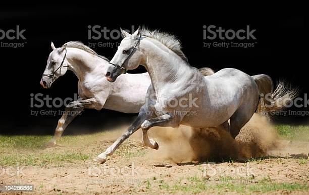 Two stallions in dust picture id104286866?b=1&k=6&m=104286866&s=612x612&h=oqbqmrxorswhg 1da hcslxrqfb fbqi9xnigigrifc=