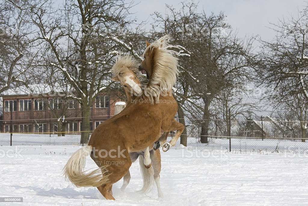 Two stallions in fight royalty-free stock photo