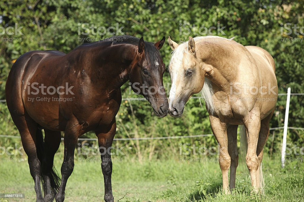 Two stallions standing on pasturage stock photo