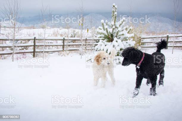 Two standard poodle playing in snow picture id905799282?b=1&k=6&m=905799282&s=612x612&h=0d1xe5n9fqrq1tds0 qnncvq b 2az1tpwvta8j nvk=