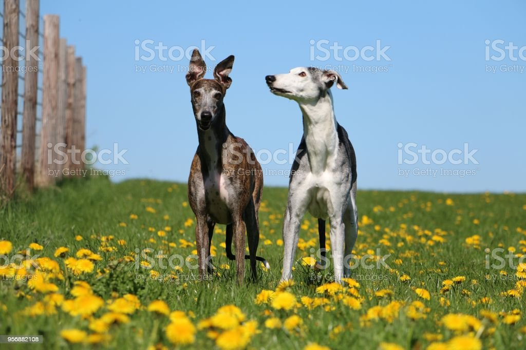 two standing galgos stock photo