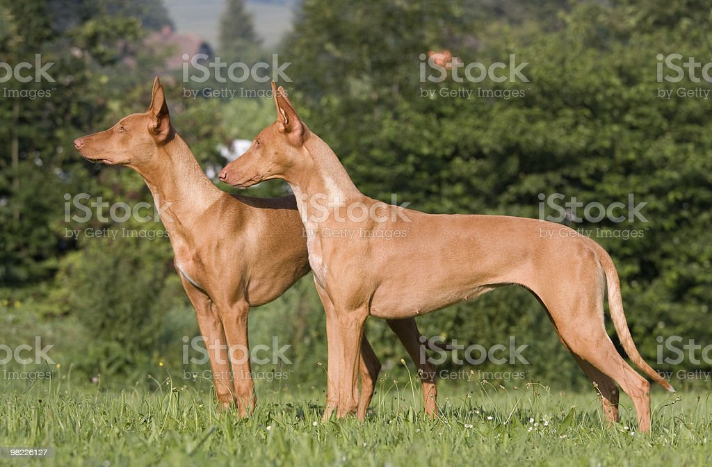 Two standing Pharaoh Hound dogs royalty-free stock photo