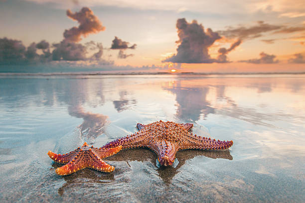 Two starfish on beach Two starfish on sea beach at sunset, Bali, Seminyak, Double six beach starfish stock pictures, royalty-free photos & images
