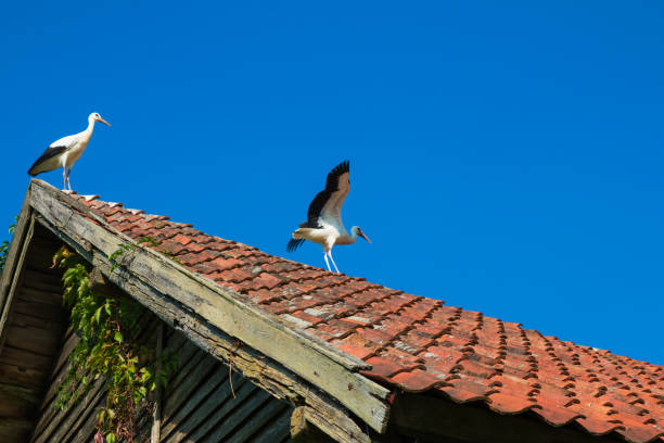 Two Storks on the roof of the old building – zdjęcie