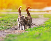 two striped friendly funny cats love walking on a green meadow in early spring in a Sunny