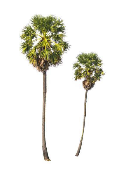 Zwei Zucker Palmen isoliert auf weißem Hintergrund. – Foto