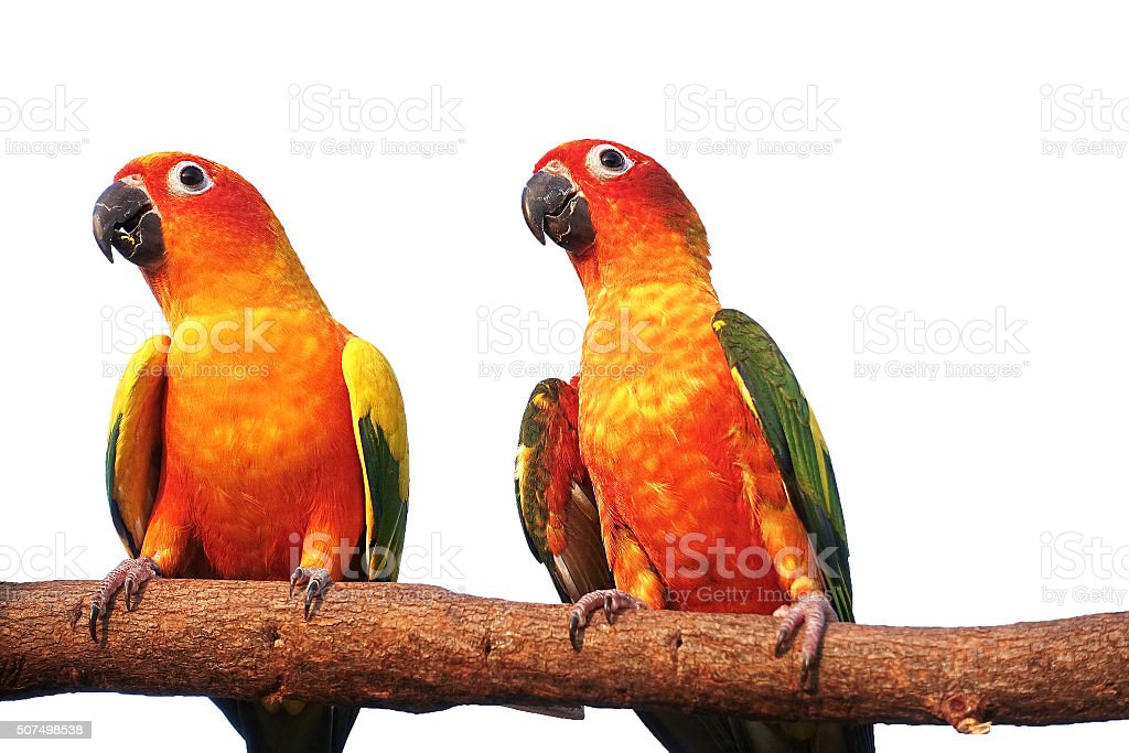 Two sun Conure Parrot Screaming on a Branch on white stock photo