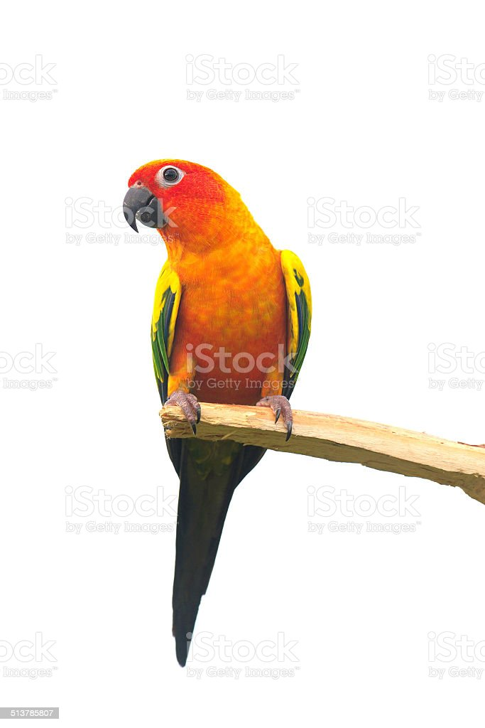 Two sun Conure Parrot Screaming on a Branch stock photo