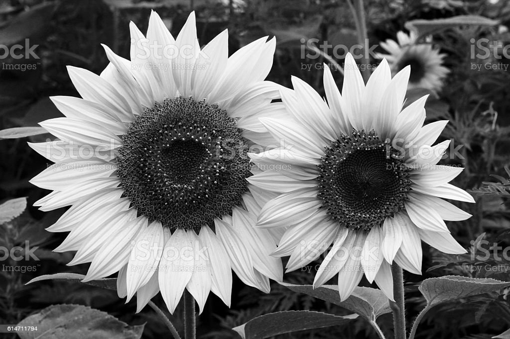 Two sunflowers bnw stock photo