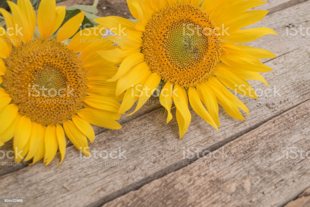 Two sunflowers overhead are located diagonally on the old wooden background stock photo