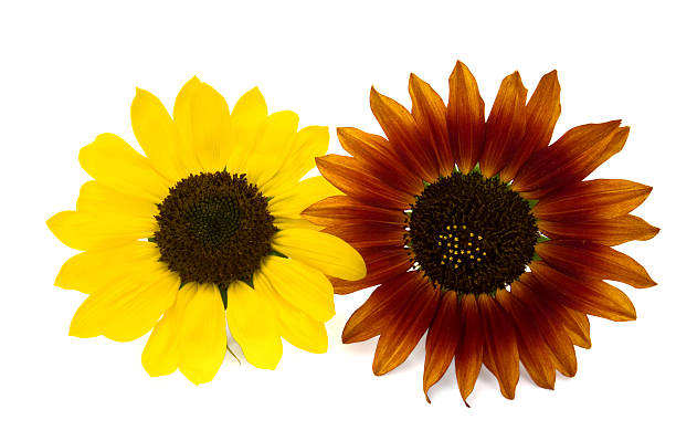 Zwei Sonnenblumen two colorful sunflowers, yellow and red, isolated on white z_wei stock pictures, royalty-free photos & images