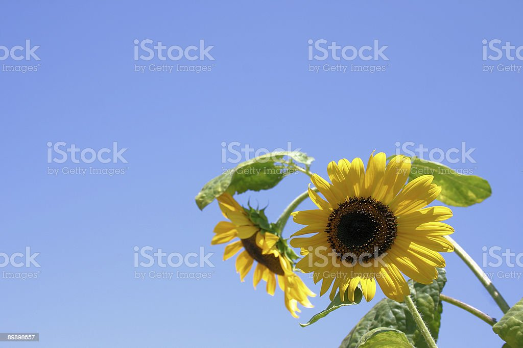 two sunflowers royalty-free stock photo