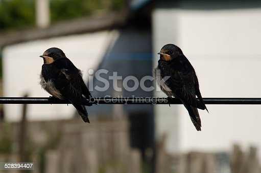 139975532 istock photo Two swallows 528394407