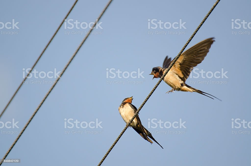 Two swallows stock photo