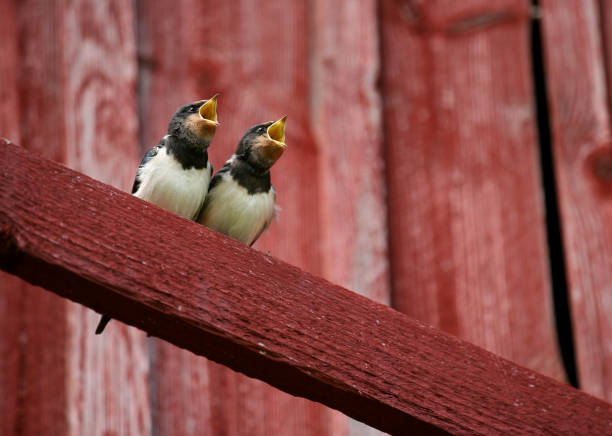 Two Swallows with Beaks Open stock photo
