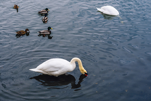 One Swan Plunged His Head into the Water, Other Swan Dive for Food, and Few Ducks Swim on Pond.