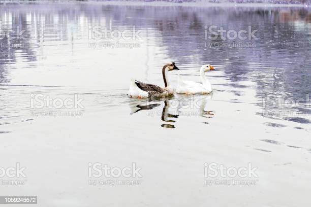 Two swans floating on the water picture id1059245572?b=1&k=6&m=1059245572&s=612x612&h=d2vz3myxz1nokaqp lohcvz3rt7wygnrutf7qjkubpg=