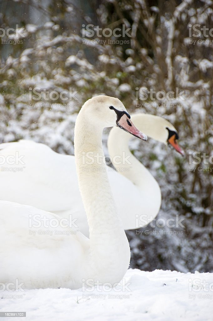 two swans in the snow royalty-free stock photo