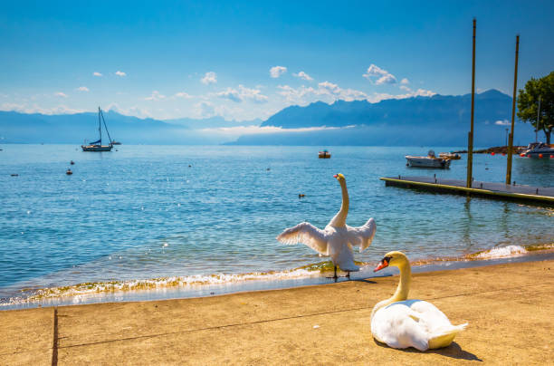 Two swans on a picturesque lake stock photo