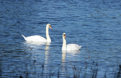 Two swans on blue lake
