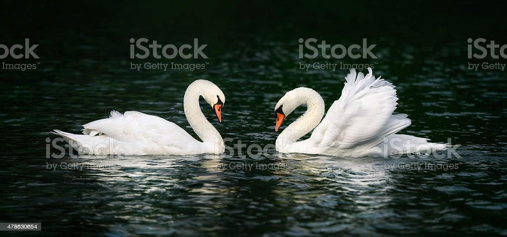 Two swans shining on dark water stock photo