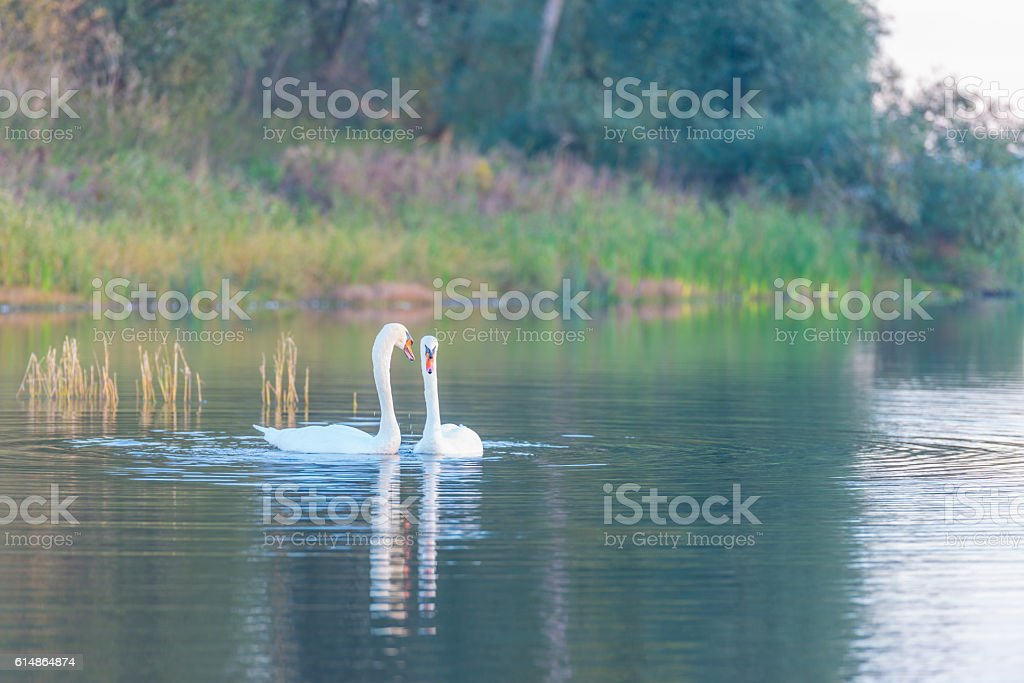 Two swans swimming in a lake at dawn in autumn stock photo