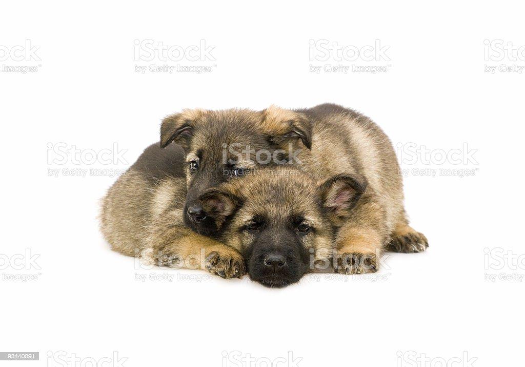 Zwei süße Deutschland Schaf-Hund Welpen, isoliert auf weißem Hintergrund Lizenzfreies stock-foto