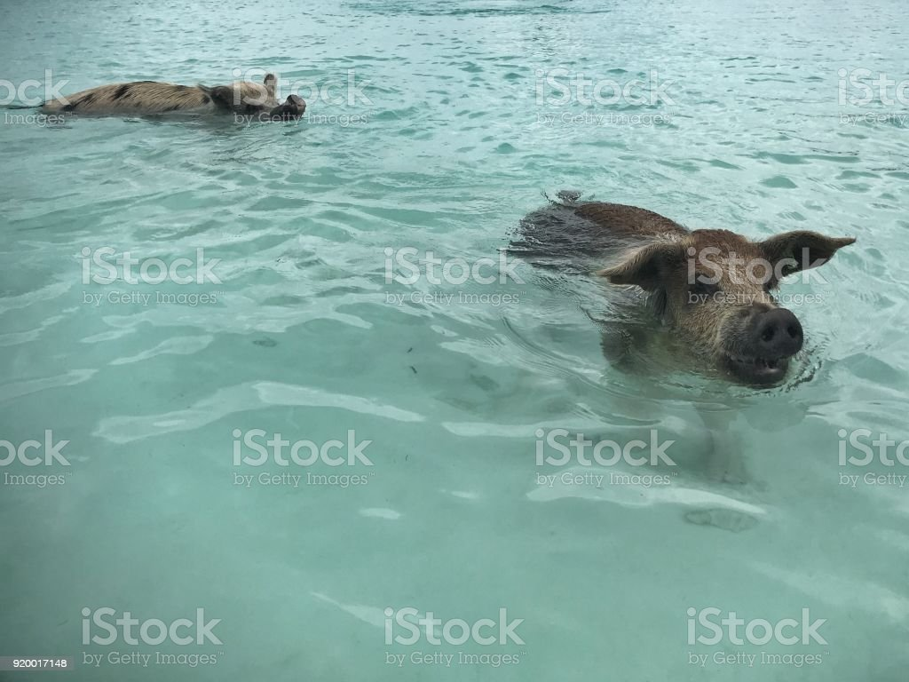 Two Swimming Feral Pigs Of Exuma On The Bahamian Pig Island