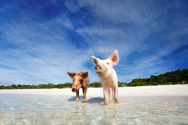 Two swimming pigs of Exuma on the beach stock photo