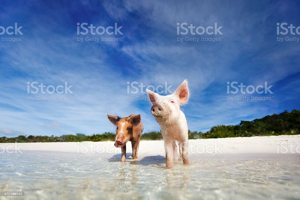 Nuoto suini di Exuma - foto stock
