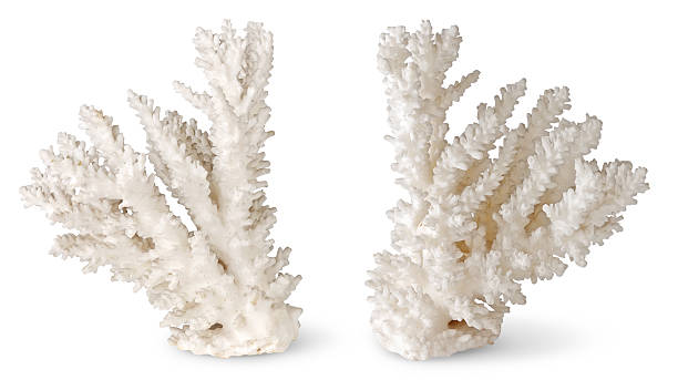 Two symmetrical coral pieces standing up on white background White corals isolated on white. polyp corals stock pictures, royalty-free photos & images