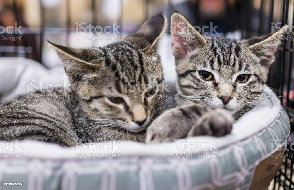 Two tabby kittens siblings cuddling in cage - foto de acervo