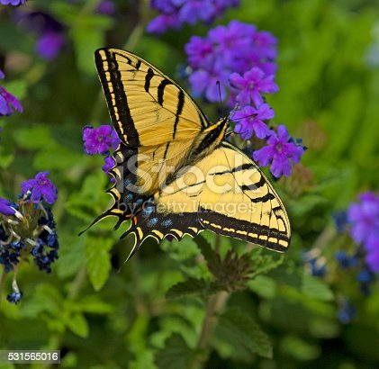 Two Tailed Swallow Tailtail Butterfly (Papilio multicaudataon) Verbena