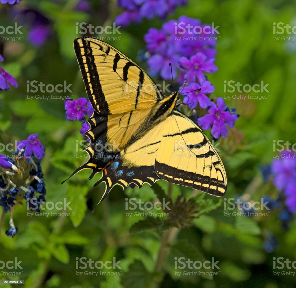 Two Tailed Swallow Tailtail Butterfly (Papilio multicaudataon) Verbena stock photo