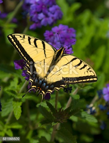 Two Tailed Swallow Tailtail Butterfly on Verbena