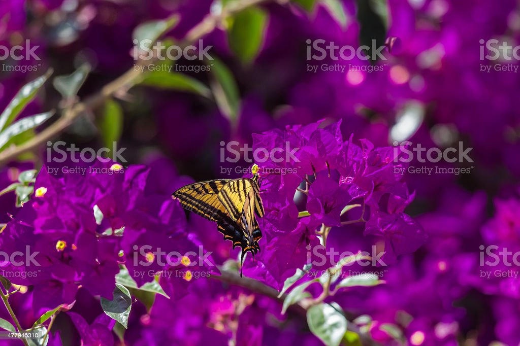 Two Tailed Tiger swallowtail. stock photo