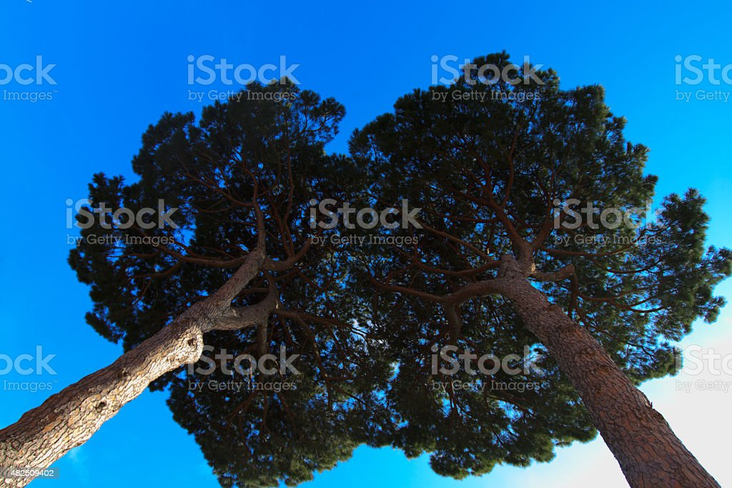 Two Tall Umbrella Pine Trees Seen from Directly Below stock photo