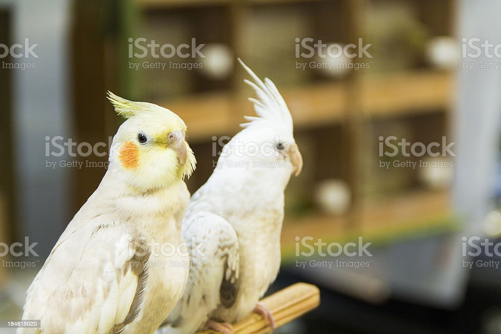 Two tame cockatiels waiting in petshop stock photo