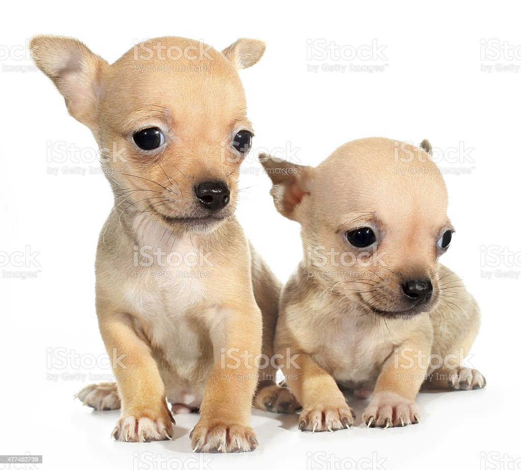 Two Tan Chihuahuas Puppy Small Dogs Stock Photo Download Image Now Istock