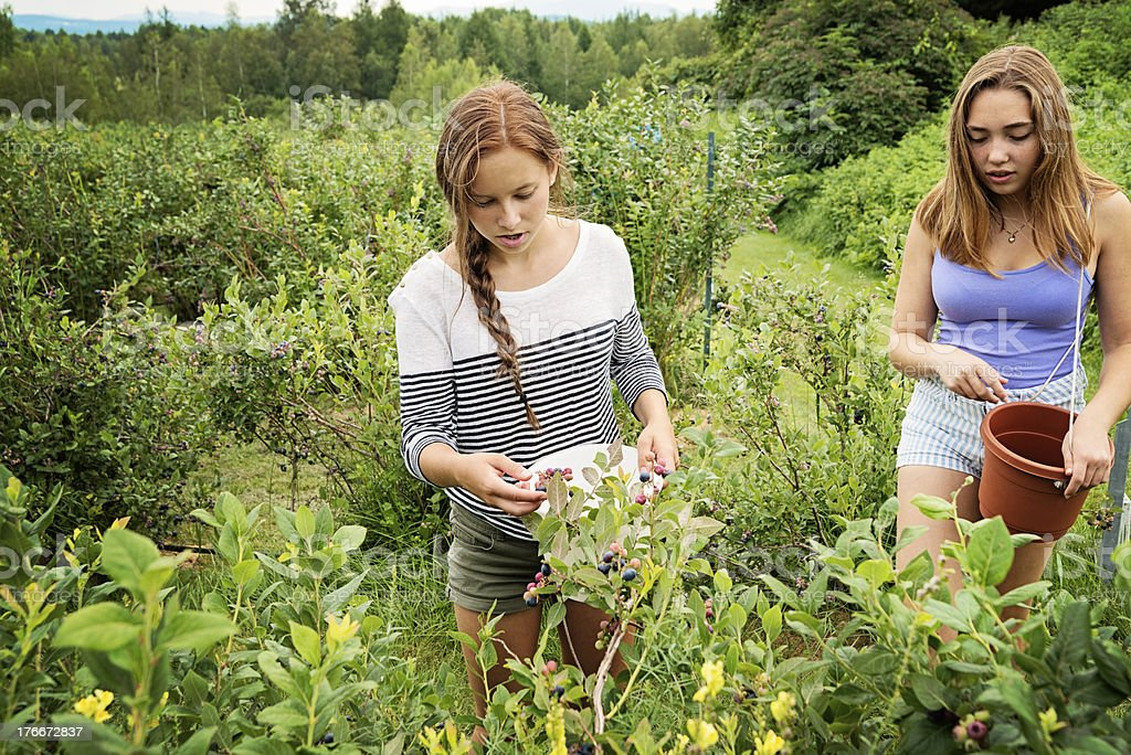 Two teenagers picking up blueberries in summer. royalty-free stock photo
