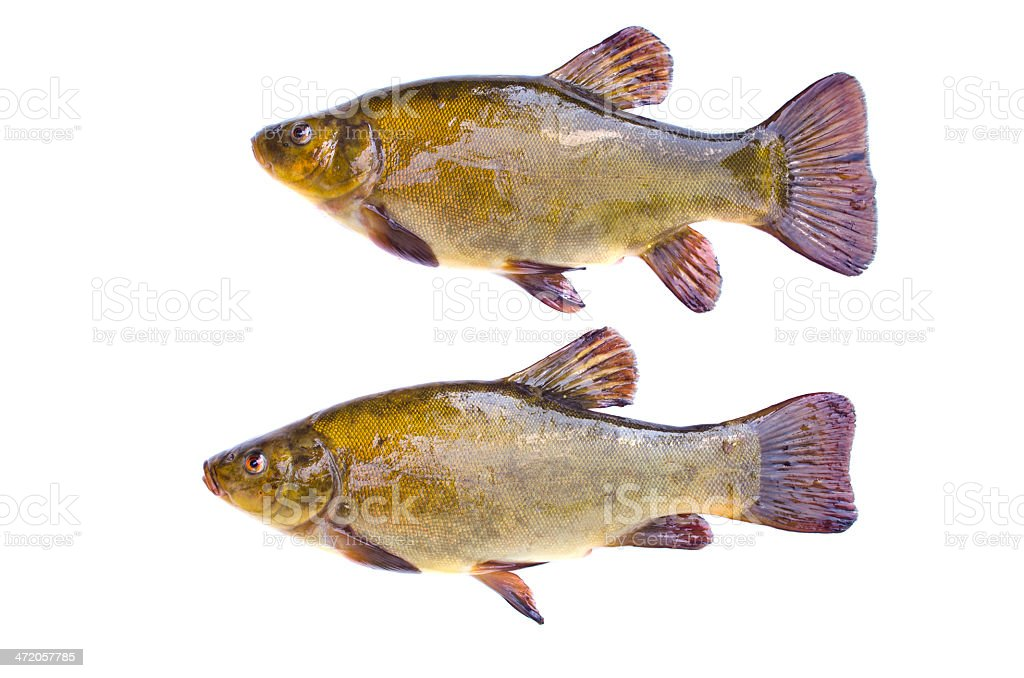Two tench fish after fishing isolated on white background stock photo