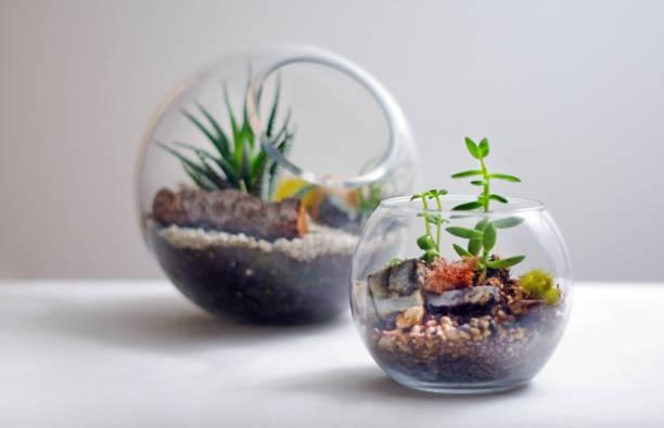 zwei terrarien auf weißen hintergrund isoliert - terrarienpflanzen stock-fotos und bilder