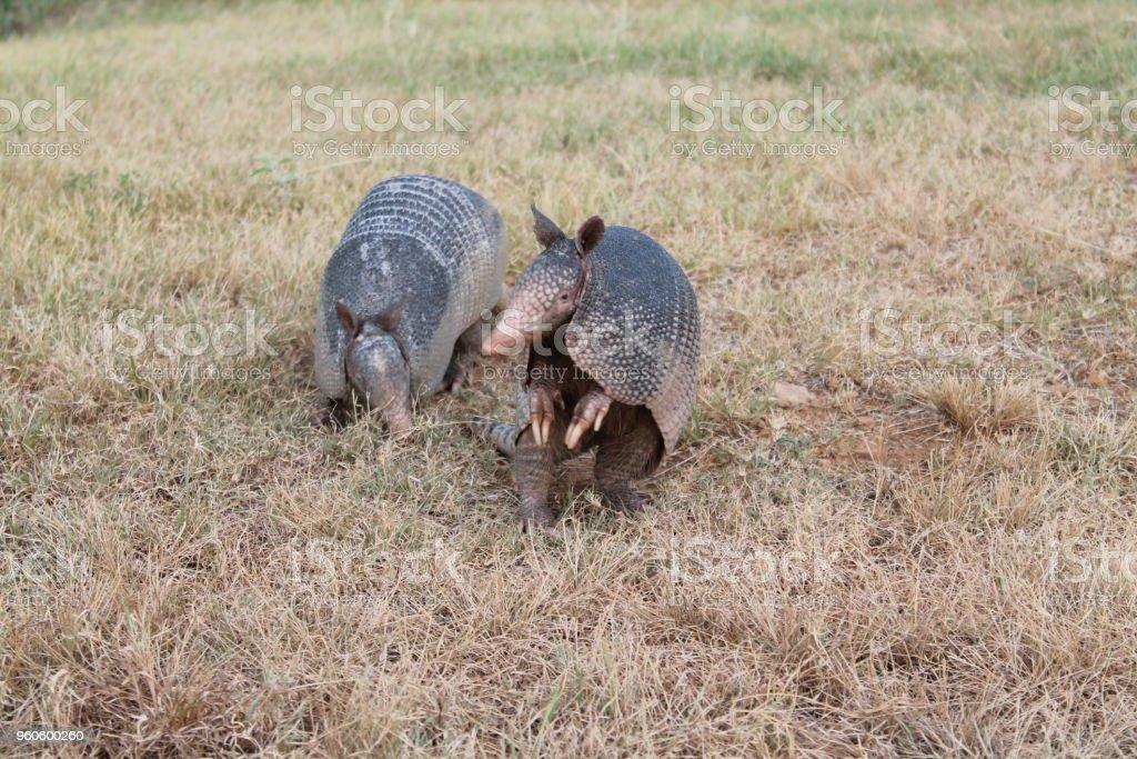 Dos Armadillos de Texas - foto de stock