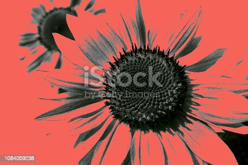 istock Two textured sunflowers in color of living coral 1084059238