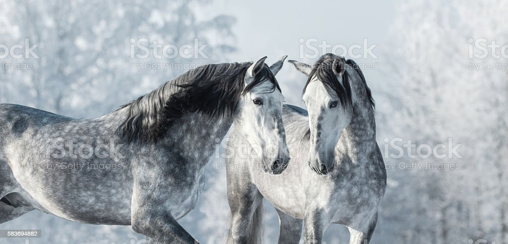Two thoroughbred gray horses in winter forest. stock photo