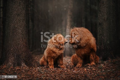 Two Tibetan mastiff siting in the foliage in the autumn forest