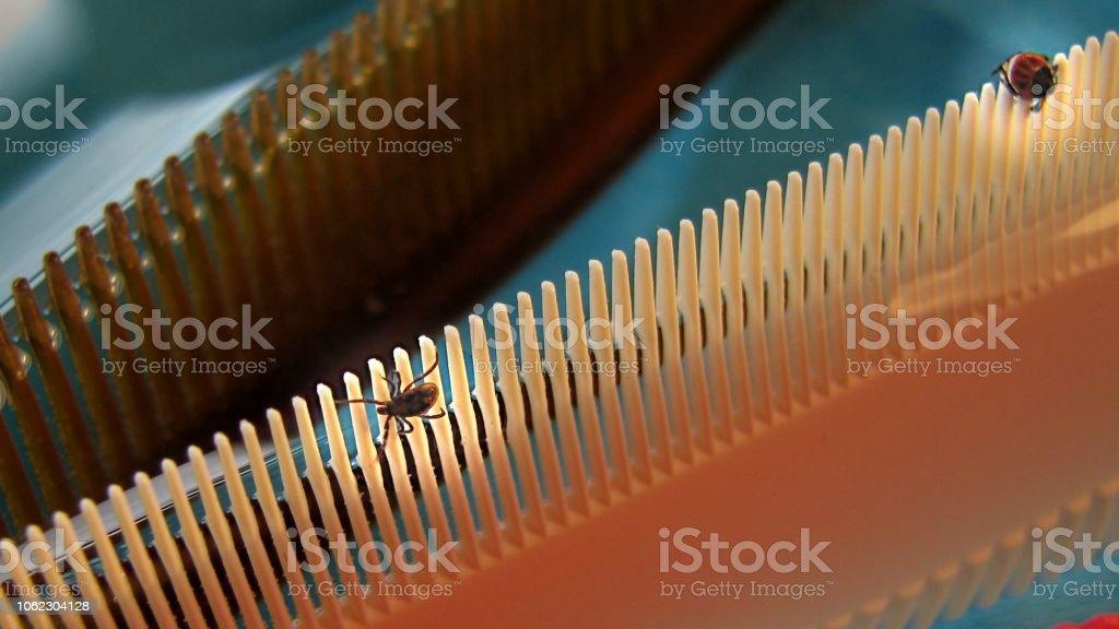 Two Ticks (Ixodes ricinus) stock photo