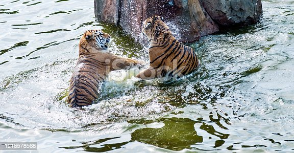 Two tigers fighting in the lake