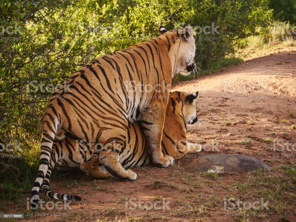 Two tigers mating in natural habitat. stock photo