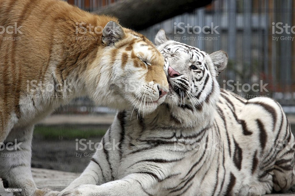 Two Tigers Nuzzling stock photo